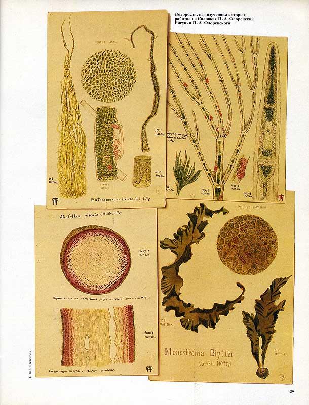 На этих рисунках Павла Флоренского – водоросли Белого моря. Над их изучением Павел Александрович работал на Соловках. Даже в тяжёлых условиях заключения он продолжал заниматься наукой и делать открытия.