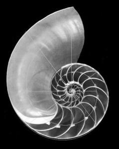 Наутилус помпилиус (Nautilus pompilius)