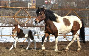 Пятнистые ижемские лошадки