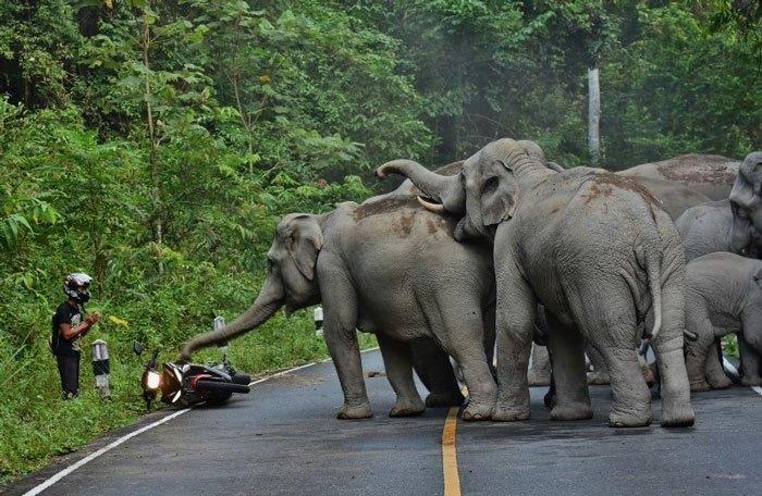 Азия: слоны «отчитывают» мотоциклиста за быструю езду