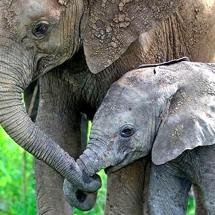 Слонёнок держится за маму хоботом