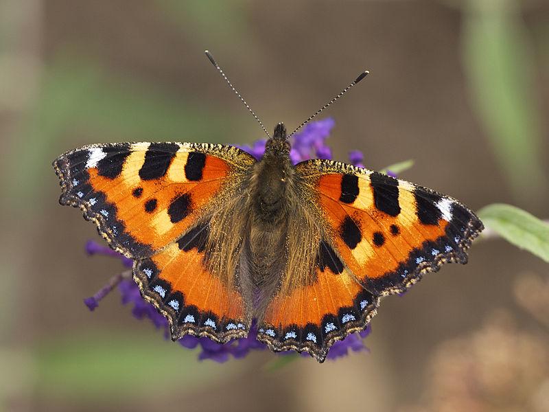 Бабочку крапивницу в Германии называют лисичкой