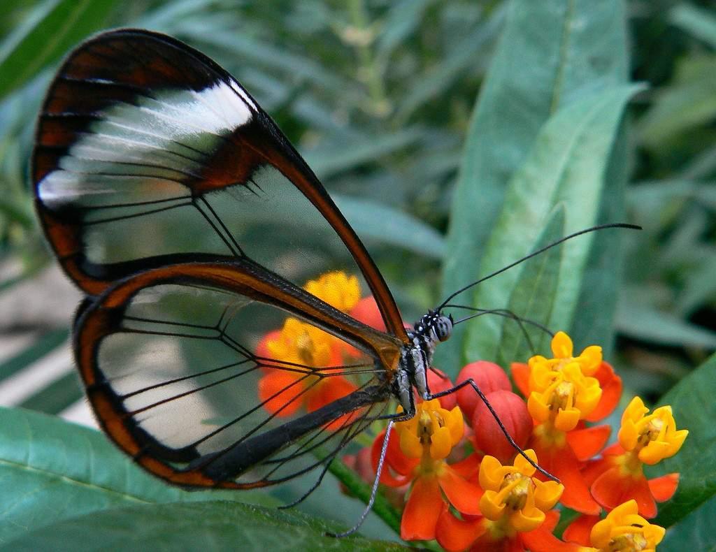 Грета Ото, или Стеклянная бабочка, живёт во влажных лесах